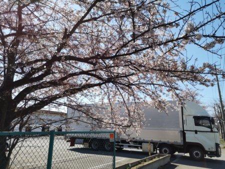 北上運輸_物流センター入り口(春/桜)